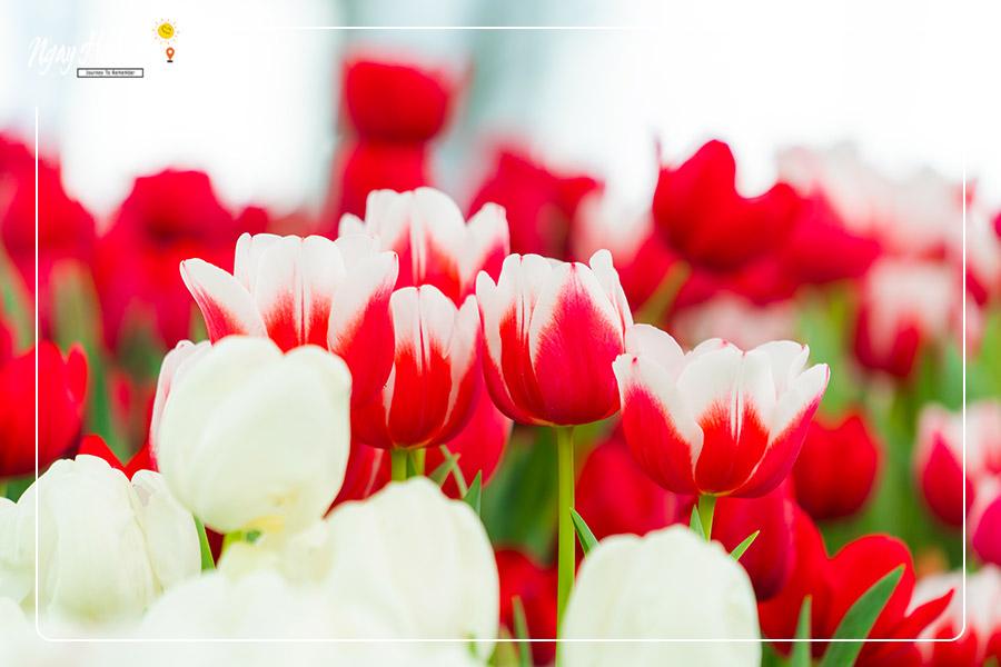 Vườn hoa Tulip